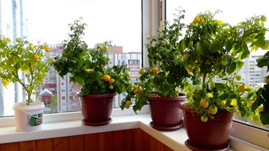 Плоды томатов Балконное чудо