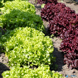 Салат и зелень