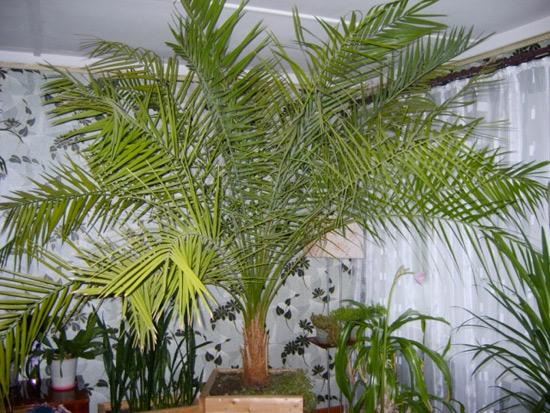 Удобрение финиковой пальмы