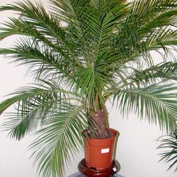 Домашнее растение из косточки