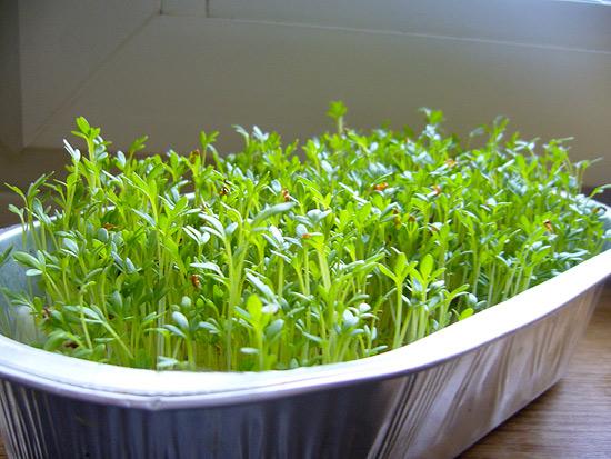 Выращивание кресс салата