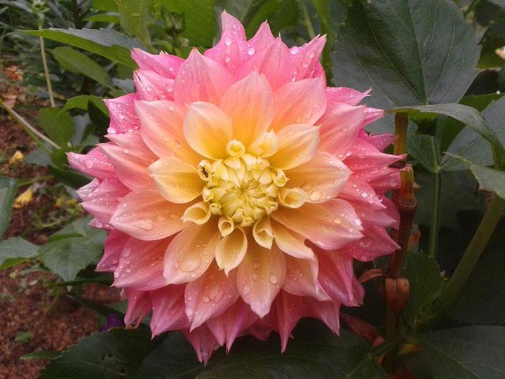 цветение георгинов