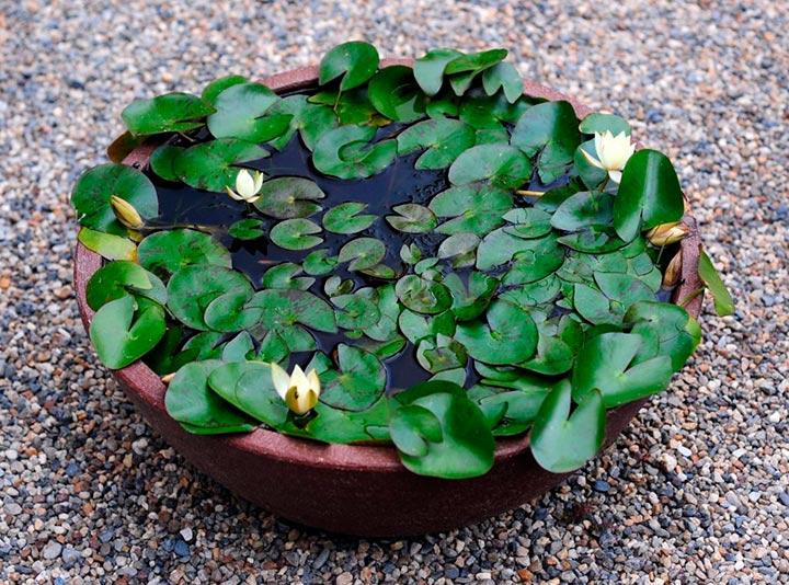листья нимфеи