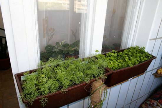 Выращивание укропа на подоконнике зимой без земли 52